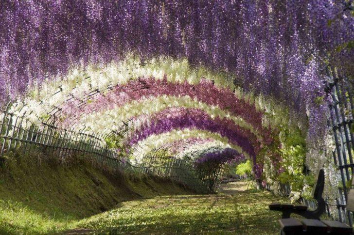 Wisteria Kawachi Fuji Garden