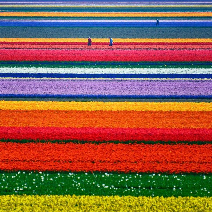 Champs de tulipe d'Alkmaar