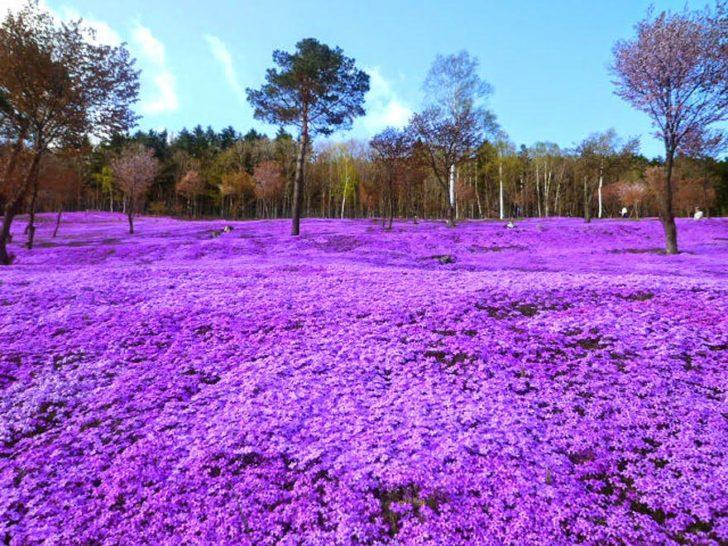 Fleurs de Shibazajura au parc Takinoue