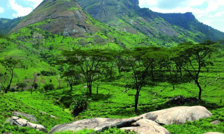 Plantation de thé à Gurué