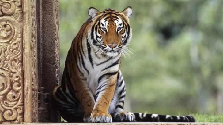 Tigre de Bengal (Panthera tigris tigris), natif inde