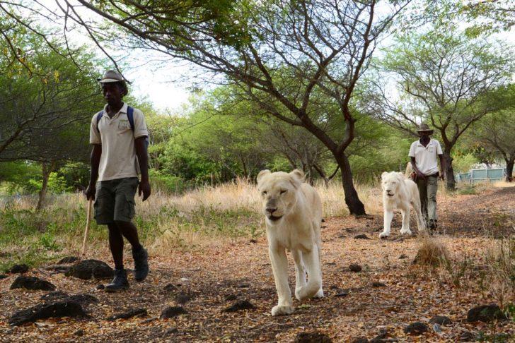 Marche avec les lions