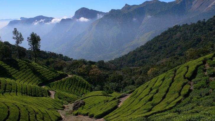 Champs de thé de Darjeeling