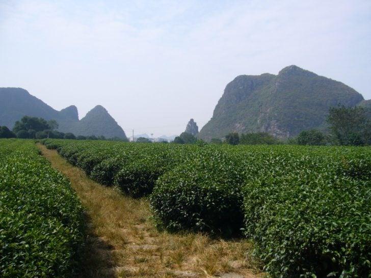 Jardin du thé Guilin