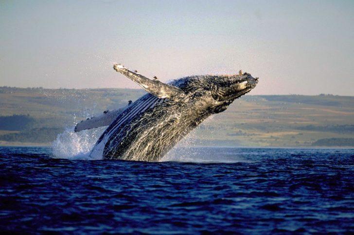 Saut de baleine à Hermanus