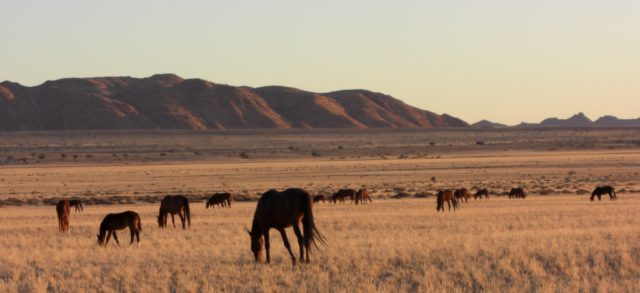 Namibie chevaux sauvages