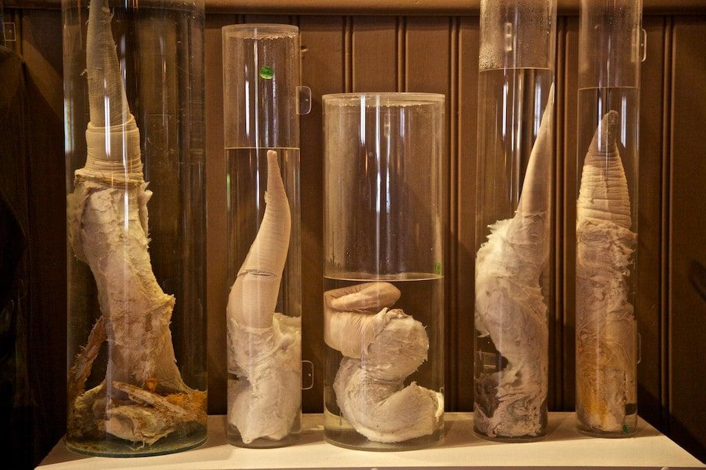 musee-phallus-islande
