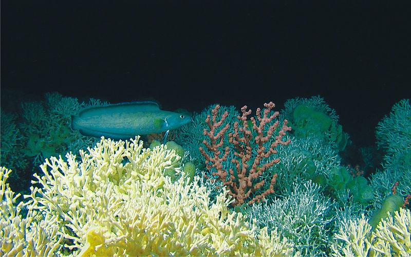 récif corallien eau froide