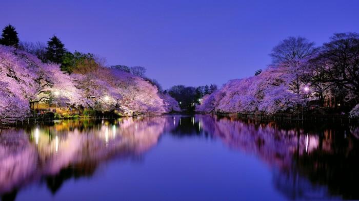 Hanami-land-cerisier fleurs