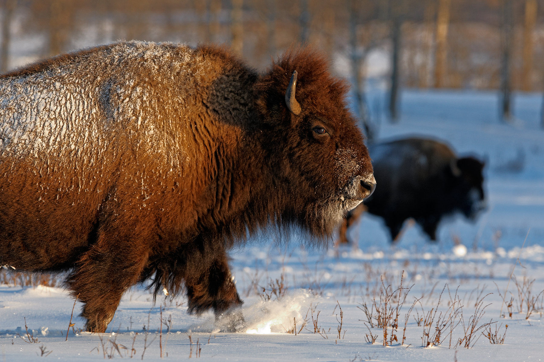 American Bison, Wood buffalo, parc canadiens