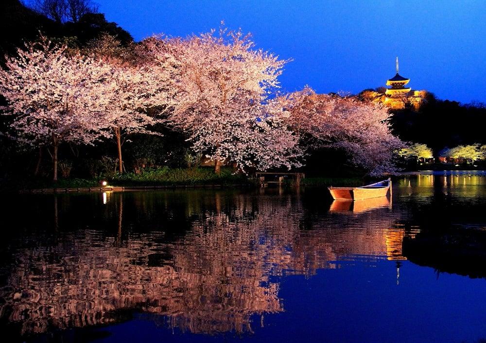 Yokohama Cherry Blossoms