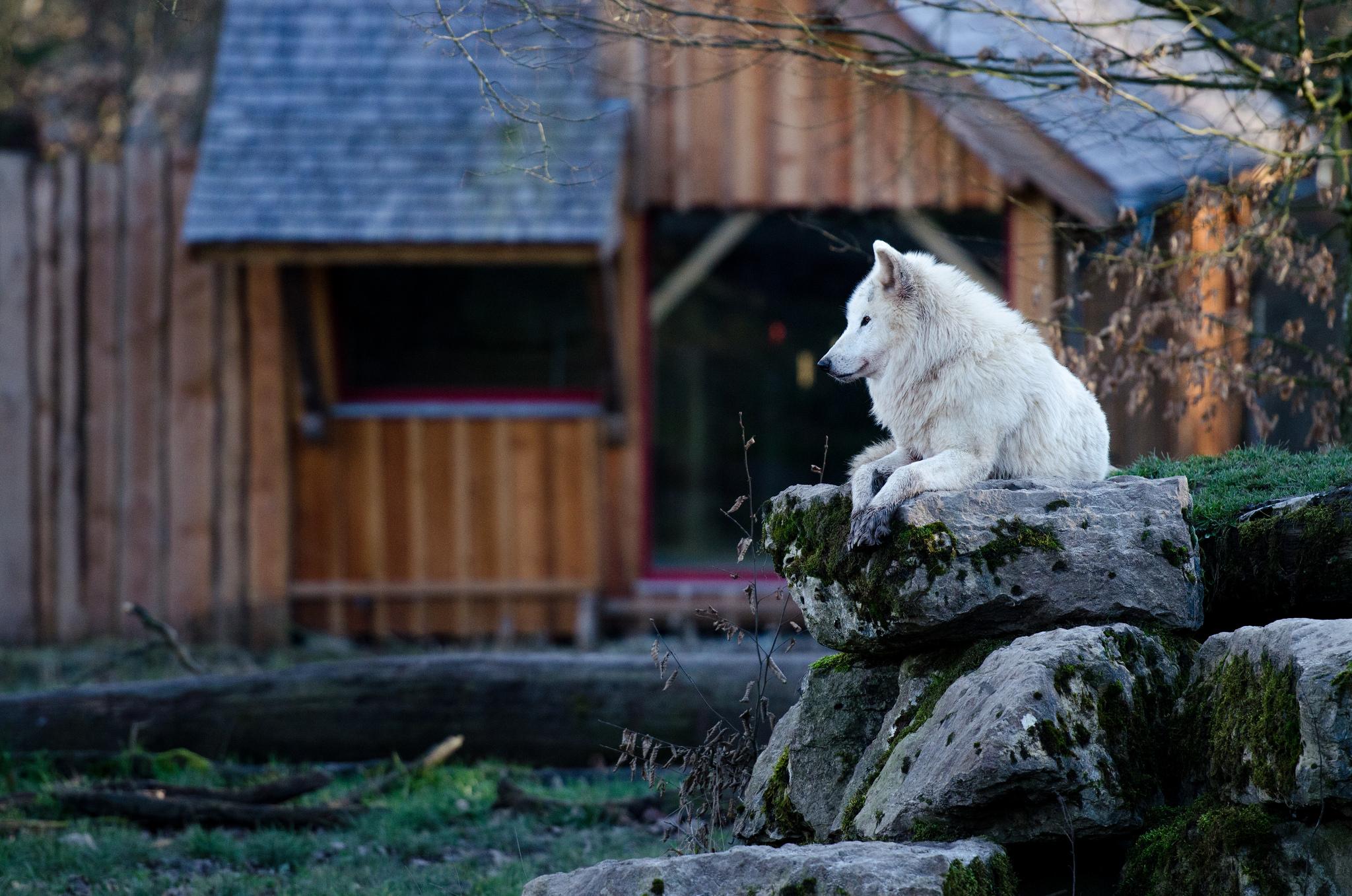 Parc animalier sainte croix, loups