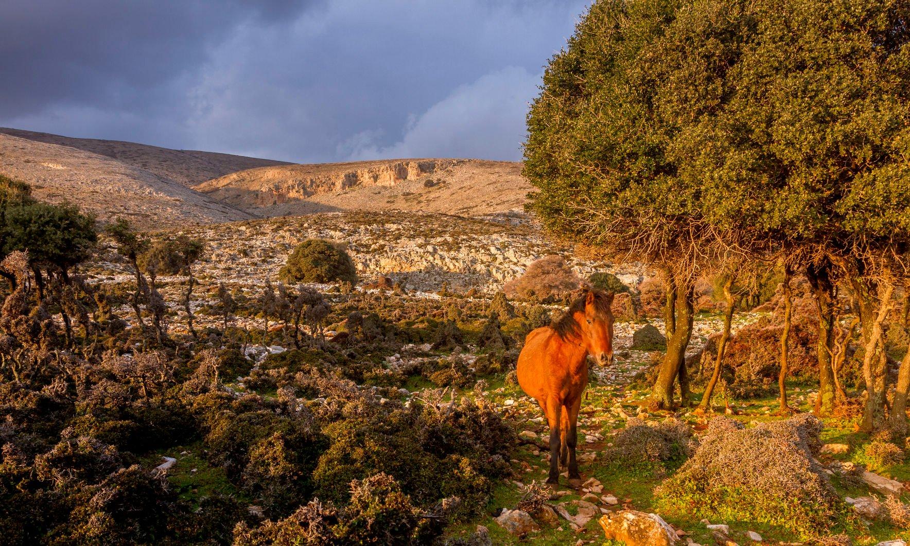 Skyros, cheval sauvage