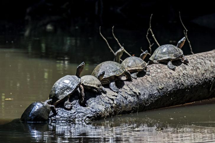 Tortues dans le parque Tortuguero au Costa Rica