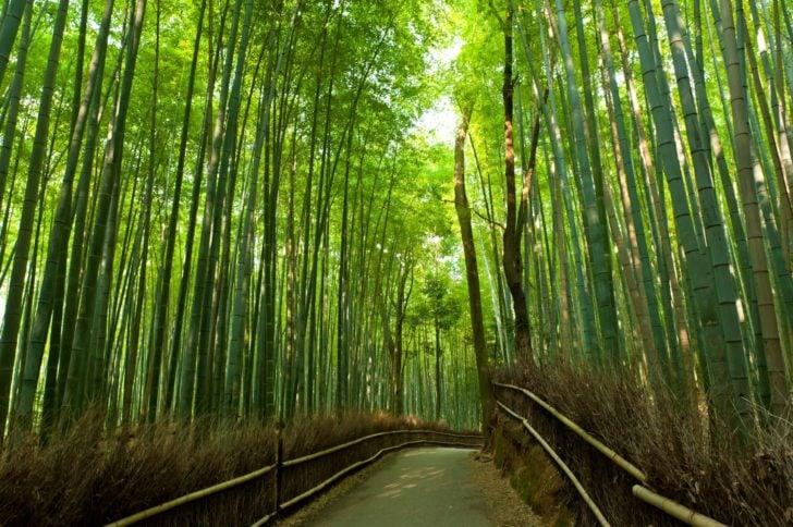 La forêt d'Arashiyama au Japon