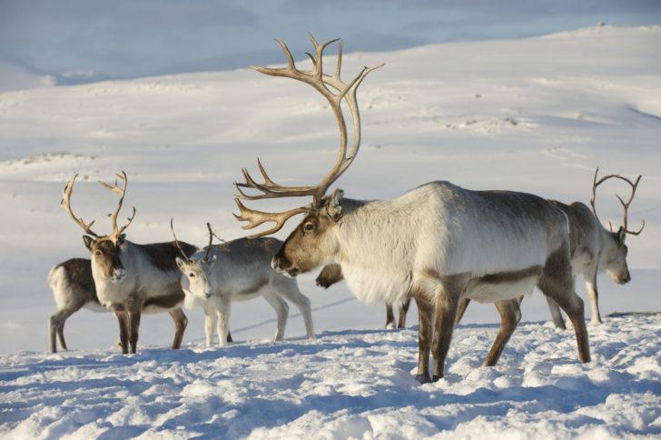 Les rennes en Laponie