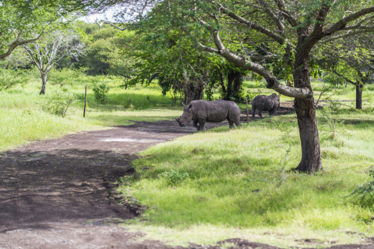 Rhinocéros dans le parc national de Casela à Maurice